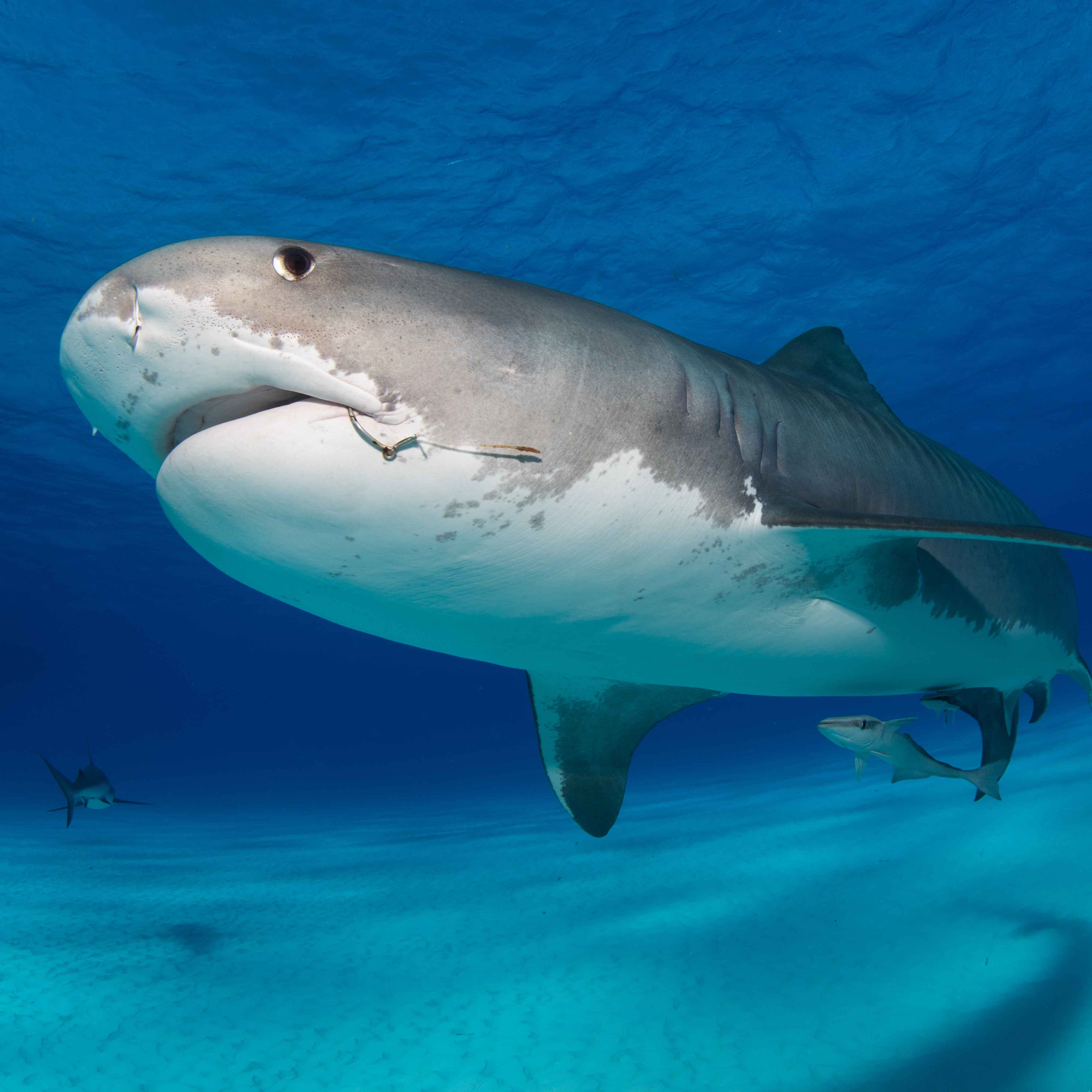Bahamas Tigershark und Hammerhaed Expedition